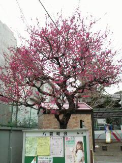 先日の梅の花、満開!